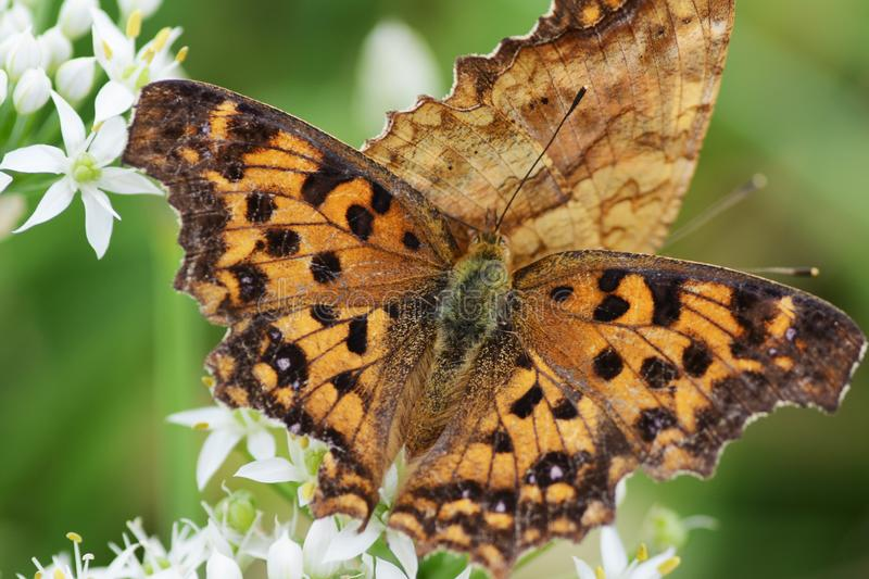 Asian comma butterfly. Absorbs the floral nectar of Chinese chives royalty free stock image