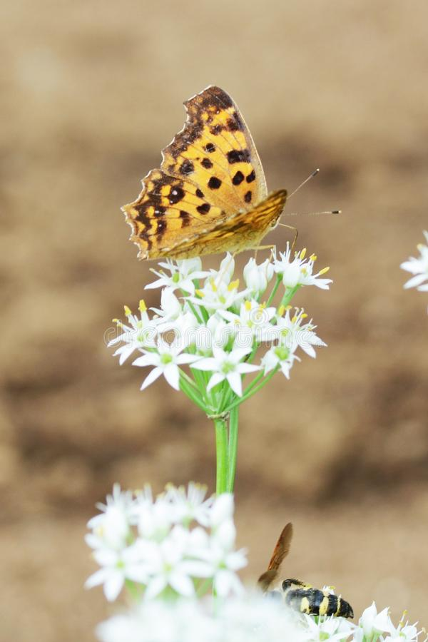 Asian comma butterfly. Absorbs the floral nectar of Chinese chives stock image