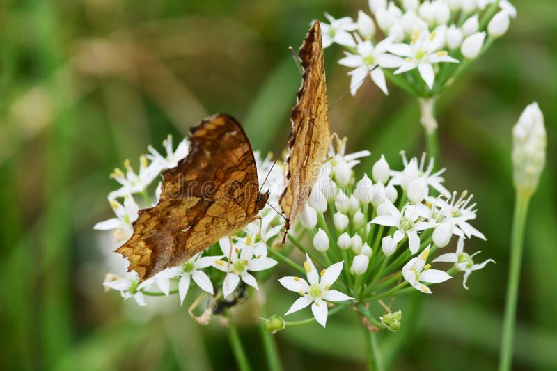 Asian comma butterfly. Absorbs the floral nectar of Chinese chives stock photos