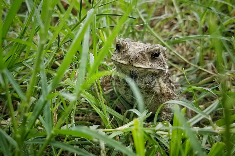 Asian Common Toad royalty free stock photography