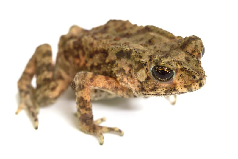 Asian common toad on white background stock images