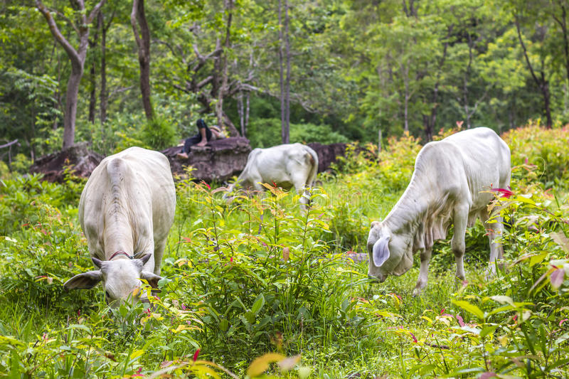 Asian Cowboys sleeping on rocks and Cows eating grass in the forest. stock images