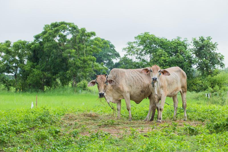 Asian Cows in the rice field countryside in Thailand royalty free stock images