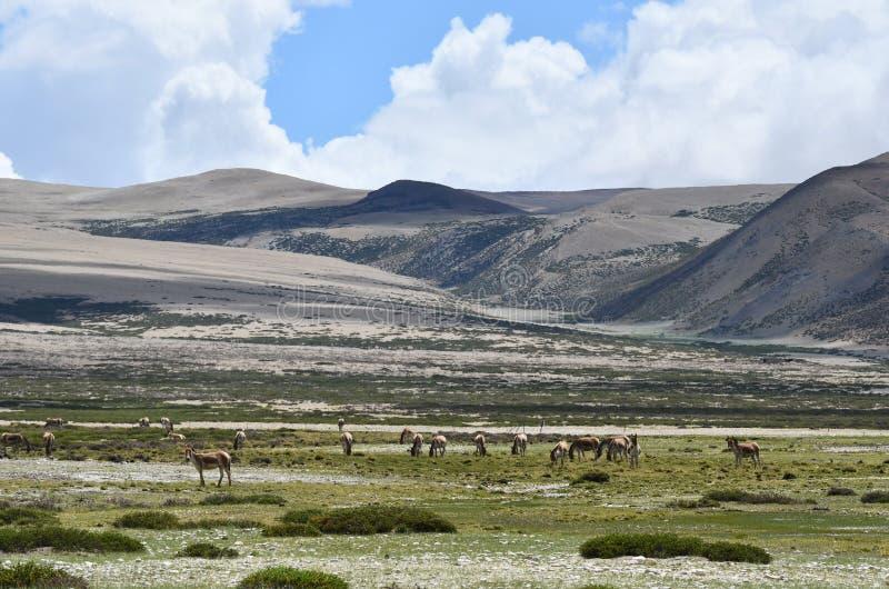 PendAsian donkeys Equus hemionus graze on the shore of lake Manasarovar in Tibet stock image