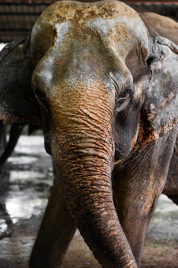 Download Asian elephant stock photo. Image of mammal, water, looking - 14858990