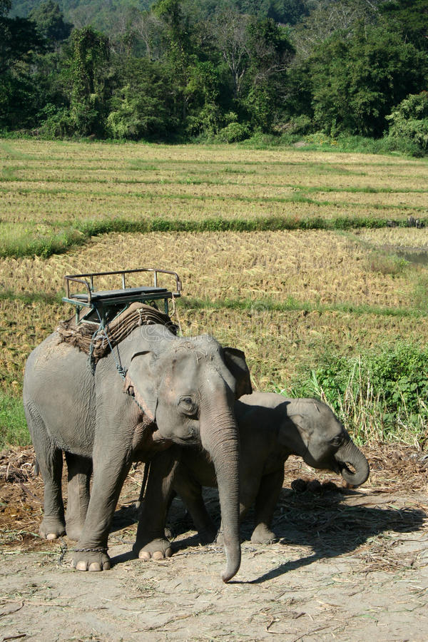 Free Asian Elephant Royalty Free Stock Images - 17789709