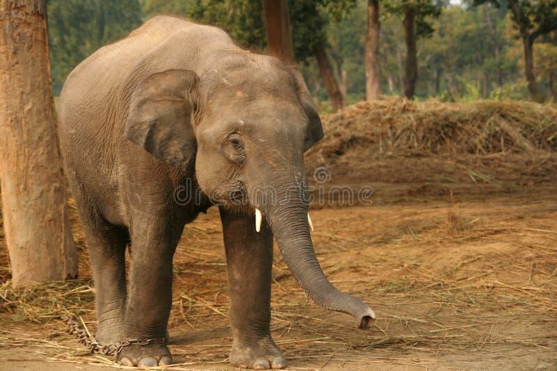 Download Asian Elephant stock photo. Image of elephas, baby, take - 22427040