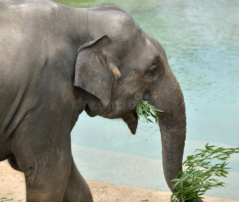 Download Asian Elephant Stock Image - Image: 27649821
