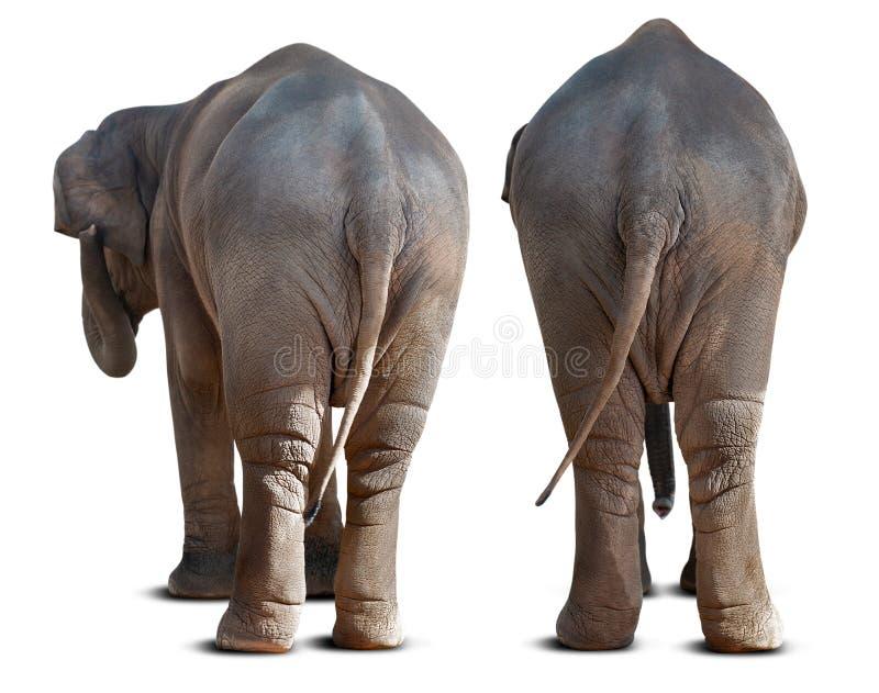Asian elephant backside royalty free stock photos