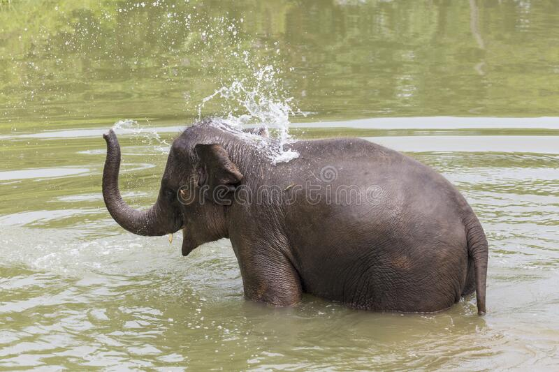 Asian elephant bathing itself at an ethical elephant sanctuary. A happy Asian elephant bathing itself in some water at an ethical elephant sanctuary in northern stock image