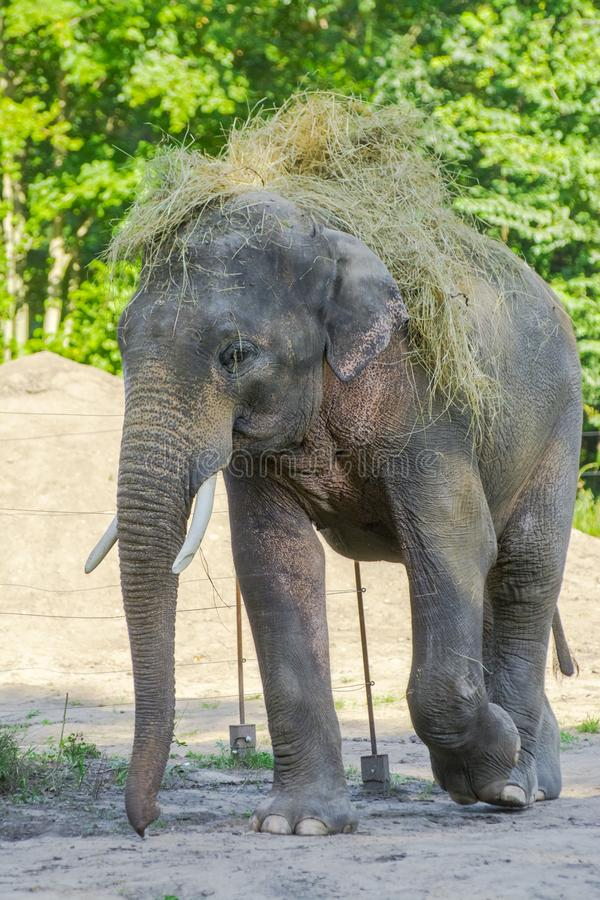 Asian elephant bull wears hay on hir backl royalty free stock photo