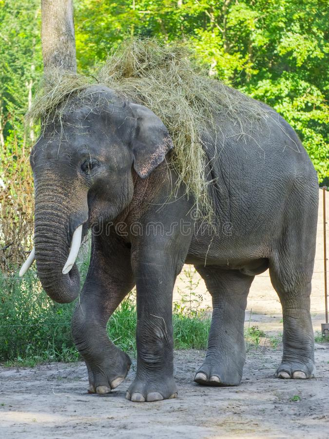 Asian elephant bull wears hay on hir backl stock image