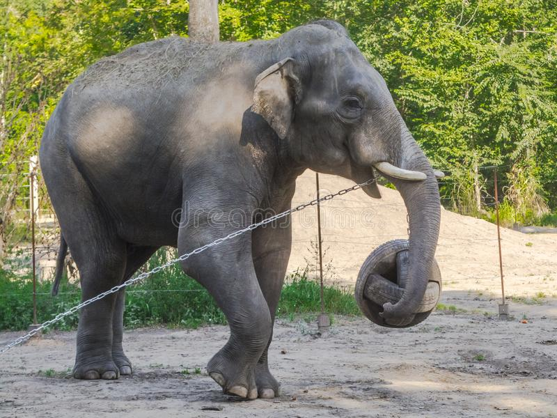Asian elephant bulls are playing with a ball royalty free stock photography