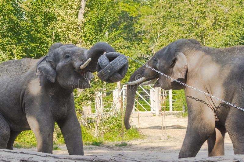 Asian elephant bulls are playing with a ball stock photography