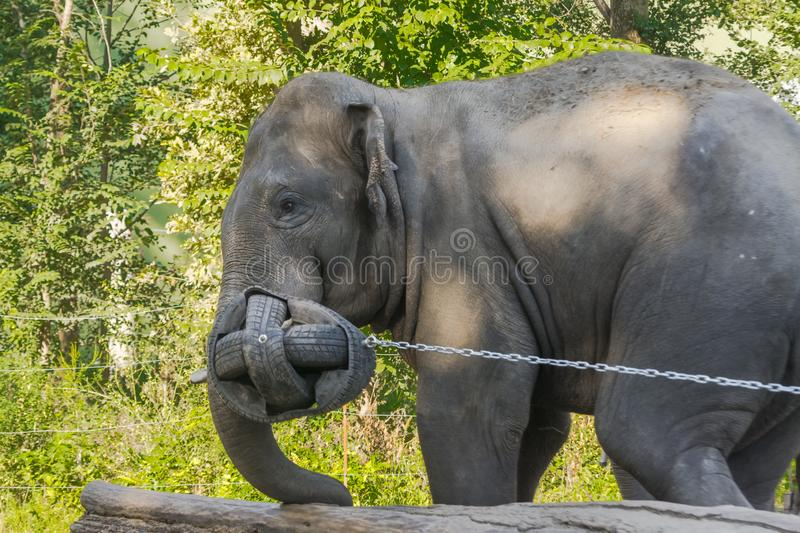 Asian elephant bulls are playing with a ball royalty free stock images