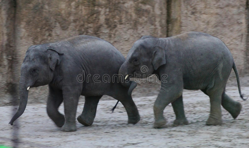 Download Asian Elephant Calf Playing Stock Photo - Image: 83705822