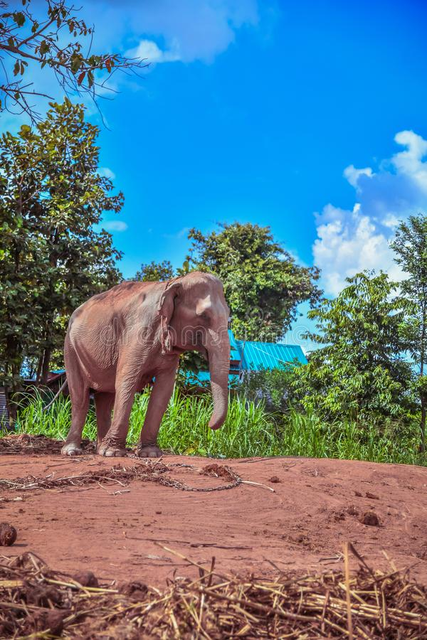 Asian Elephant. Care for an Elephant needing Rest and Recuperation in surin Thailand. Elephant chained. Care for an Elephant needing Rest and Recuperation in royalty free stock images