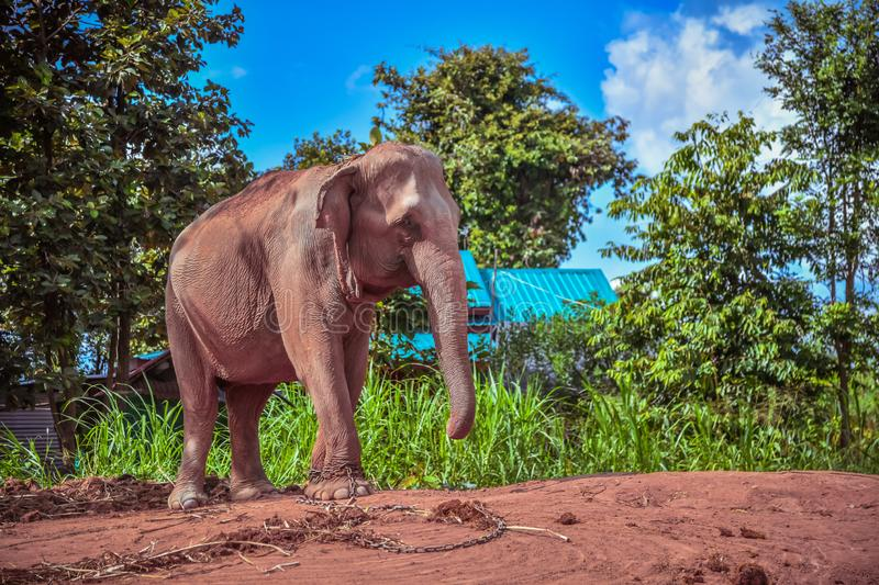 Asian elephant. Care for an Elephant needing Rest and Recuperation in surin Thailand. Elephant chained. Care for an Elephant needing Rest and Recuperation in stock images