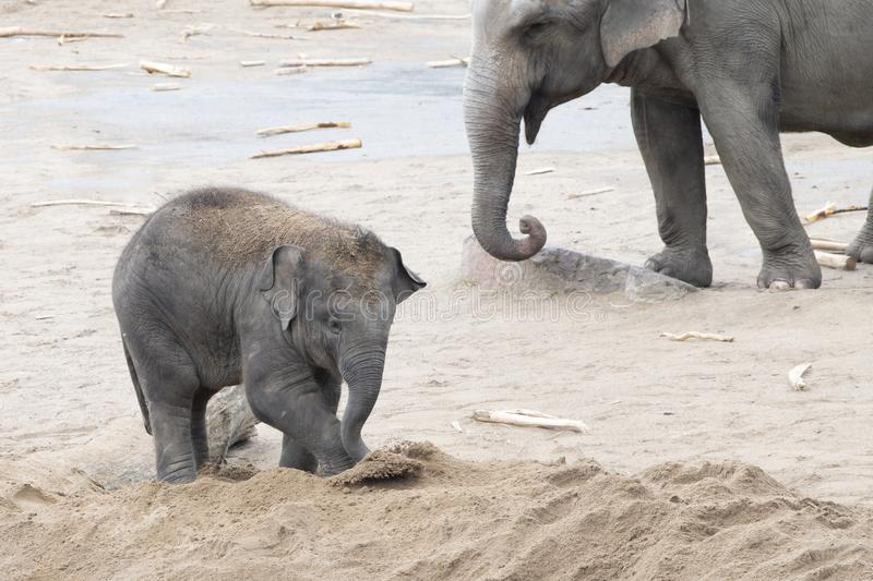 Asian elephant baby playing with sand royalty free stock photography
