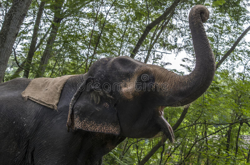 An Asian Elephant. Doing it's greetings royalty free stock photos