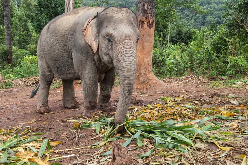 Asian Elephant Eating Bamboo. In the forest, Mae Wang, Chiang Mai, Thailand stock images