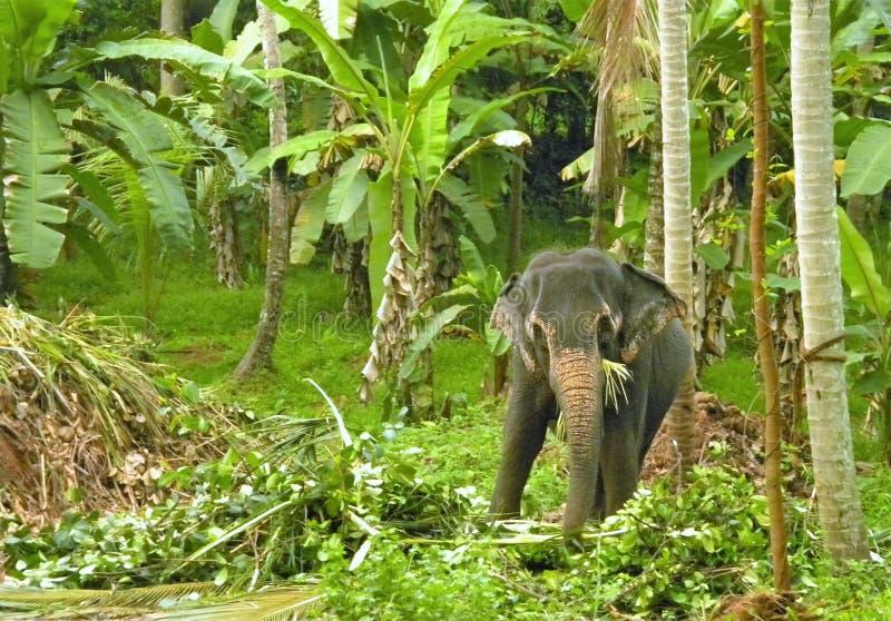 Asian elephant stock image
