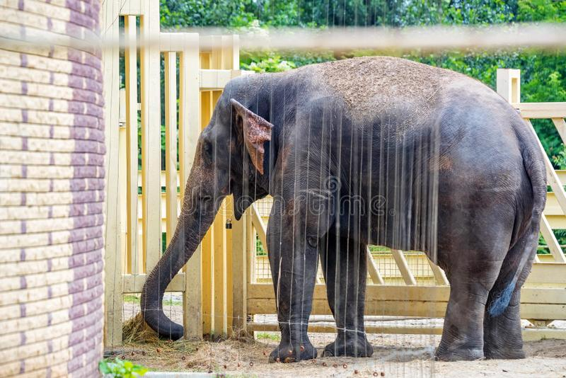 Asian elephant or elephas maximus takes shower in captivity. View of Asian elephant or elephas maximus standing under water in the zoo royalty free stock photography