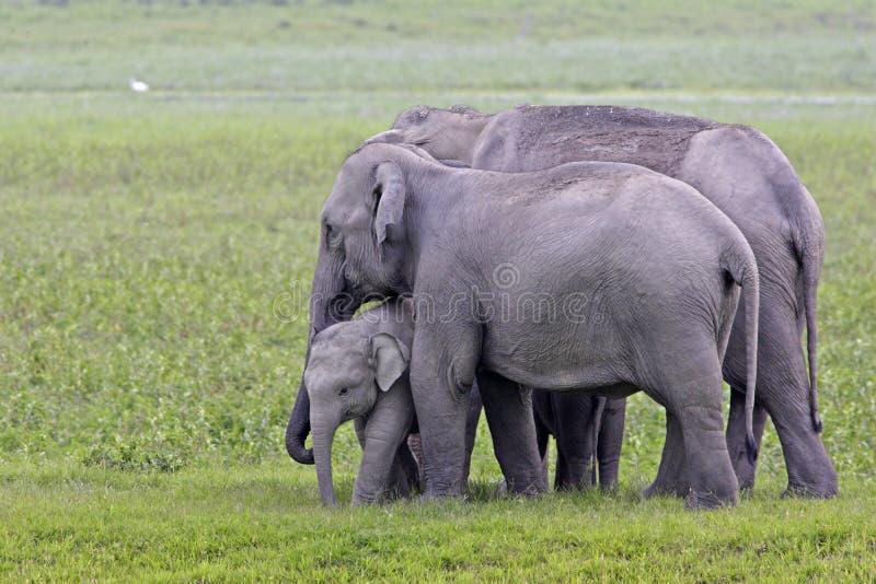 Asian elephant family scene royalty free stock photography