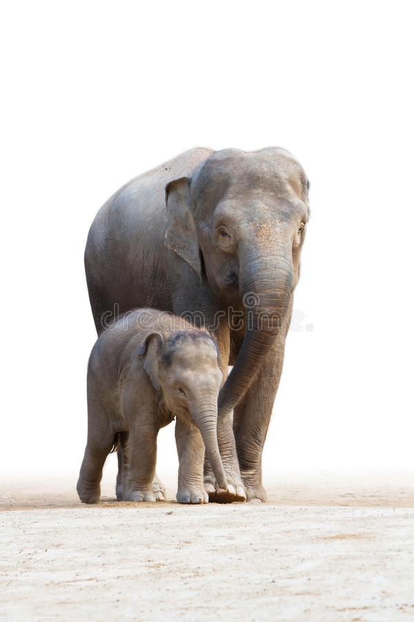 Asian elephant familys walking 2. The asian elephant families (the mother and the baby) are walking in white background royalty free stock photo