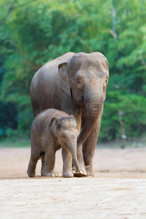 Asian elephant familys walking 3. The asian elephant families (the mother and the baby) are walking royalty free stock photos