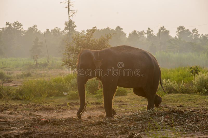 Asian elephant in the forest, surin, Thailand. Asian elephant in the forest surin Thailand stock image