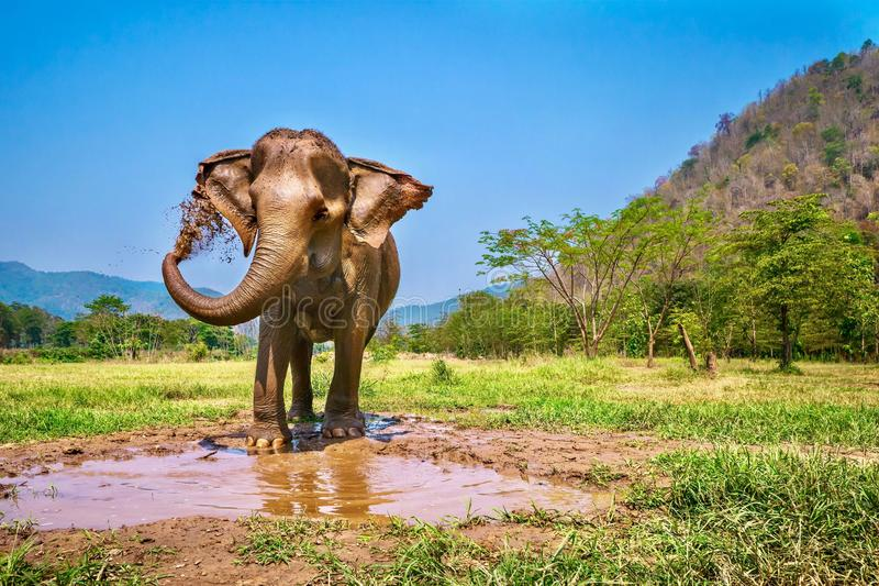 An Asian elephant giving herself a mud bath in northern Thailand. royalty free stock photos