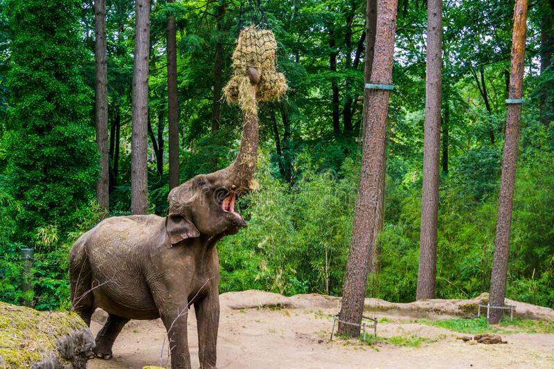 Asian elephant grabbing hay, zoo animal feeding, Endangered animal specie from Asia. An asian elephant grabbing hay, zoo animal feeding, Endangered animal specie stock photo