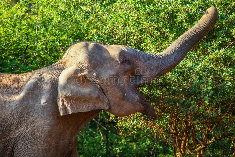 Asian elephant grasping leaves from trees in Yala National Park stock photography