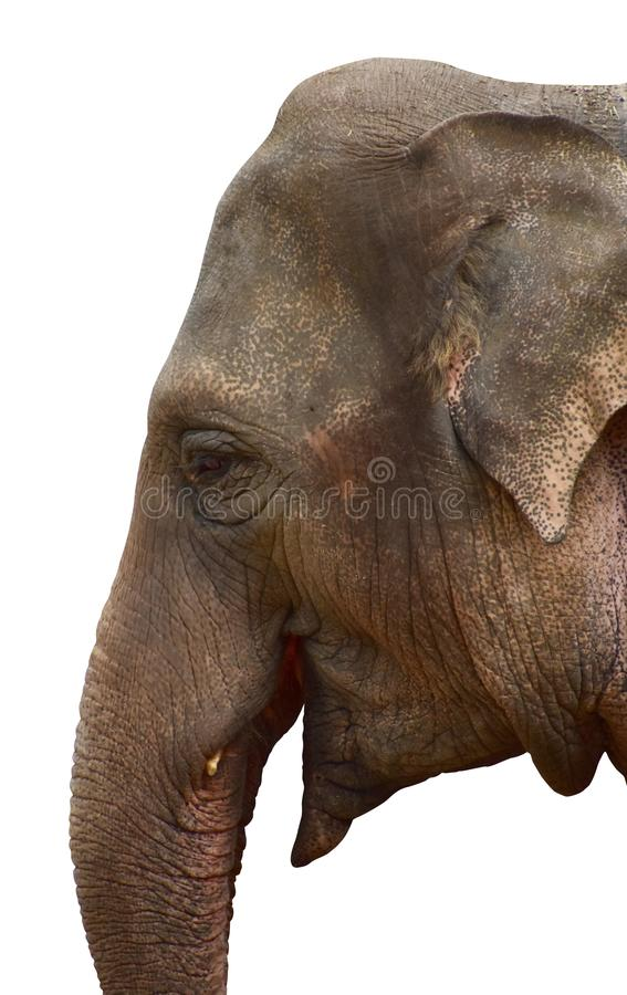 Asian elephant head. Profile of Asian elephant head, lateral view, isolated on white background royalty free stock photo