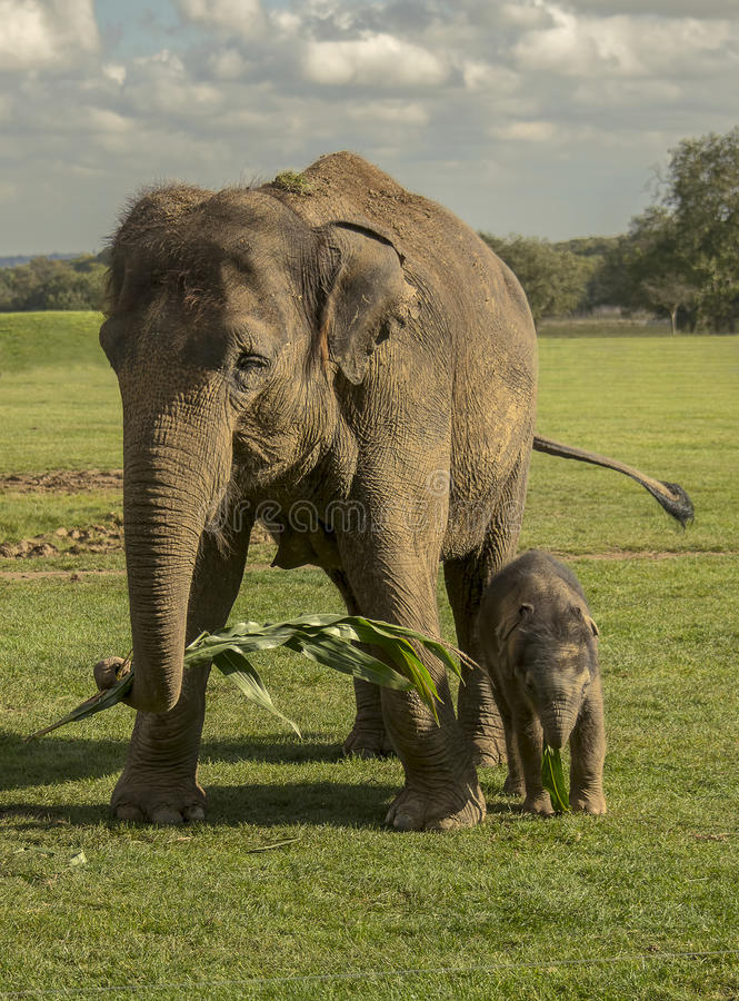 Elephant Calf Eating Grass Stock Images - Download 265 ...