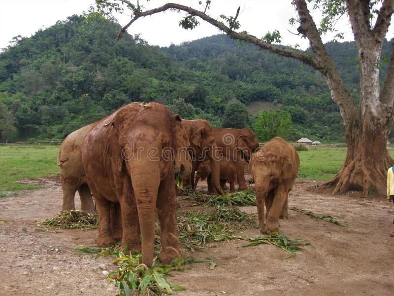 Asian elephant herd in a Thailand sanctuary stock photos