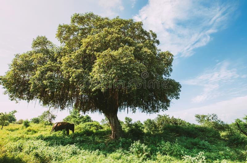 Asian elephant hiding under the big green tree shadow in the Udawalawe National Park, Sri Lanka stock images