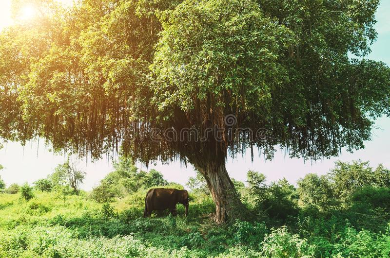 Asian elephant hiding under the big green tree shadow in the Udawalawe National Park, Sri Lanka royalty free stock image