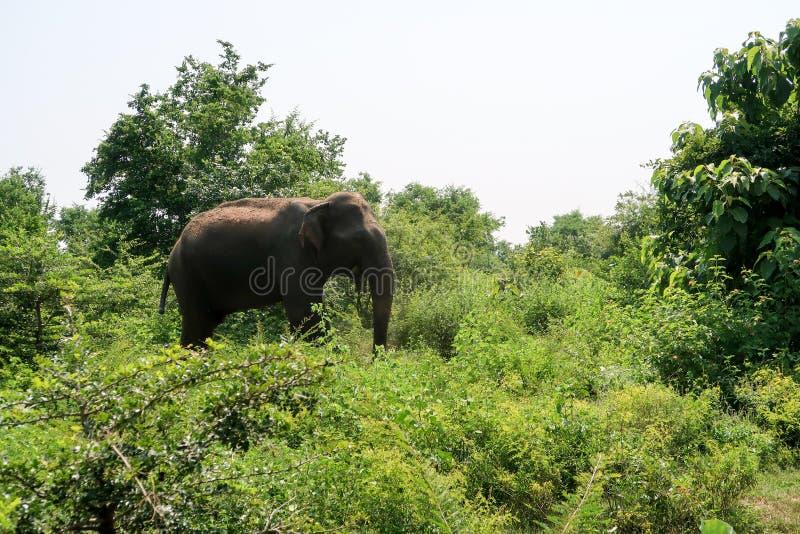 Adult asian Elephant inside the udawalawe national park, Sri Lanka royalty free stock photo