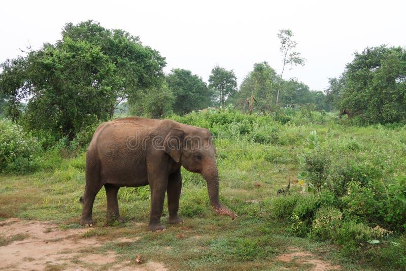 Asian Elephant inside the udawalawe national park, Sri Lanka. Asian Elephant inside the udawalawe national park, seen during a Safari. Sri Lanka. Shot with Canon royalty free stock photo