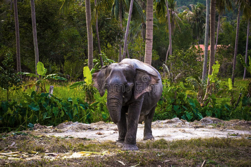 Asian elephant in jungle forest. Thailand. Koh Phangan royalty free stock photos