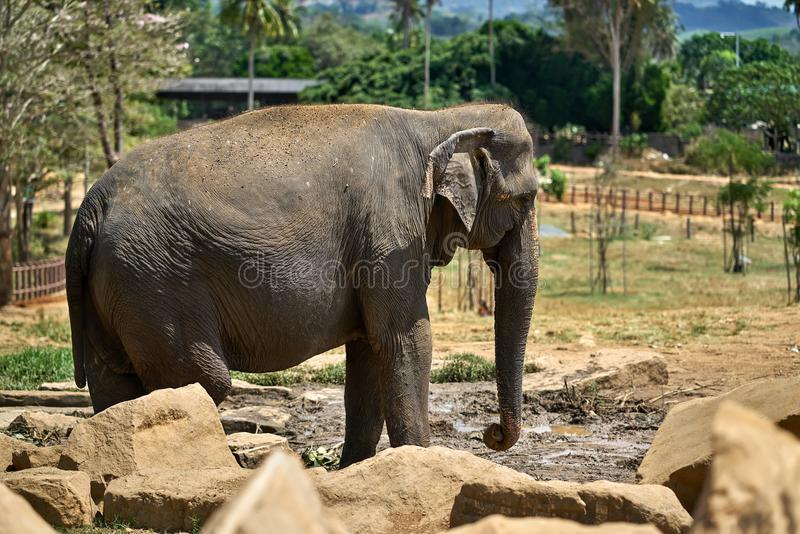 Asian elephant in national park royalty free stock images