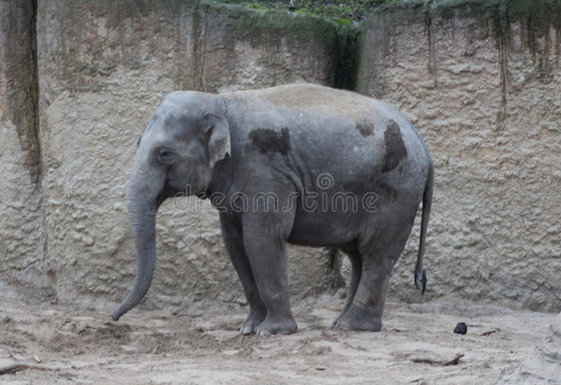 Download Asian elephant potrait stock image. Image of stand, rest - 83705627