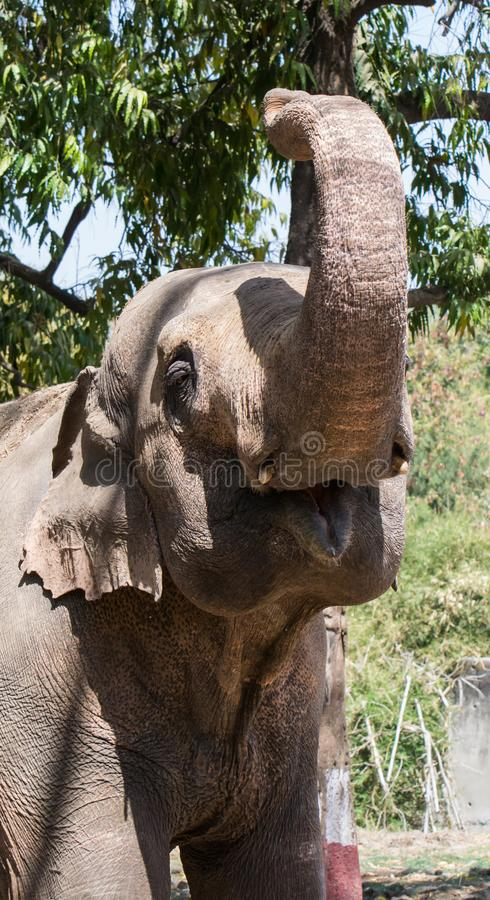 Asian elephant with raised truck. Asian elephant Elephas maximus or Indian Elephant with raised truck royalty free stock image