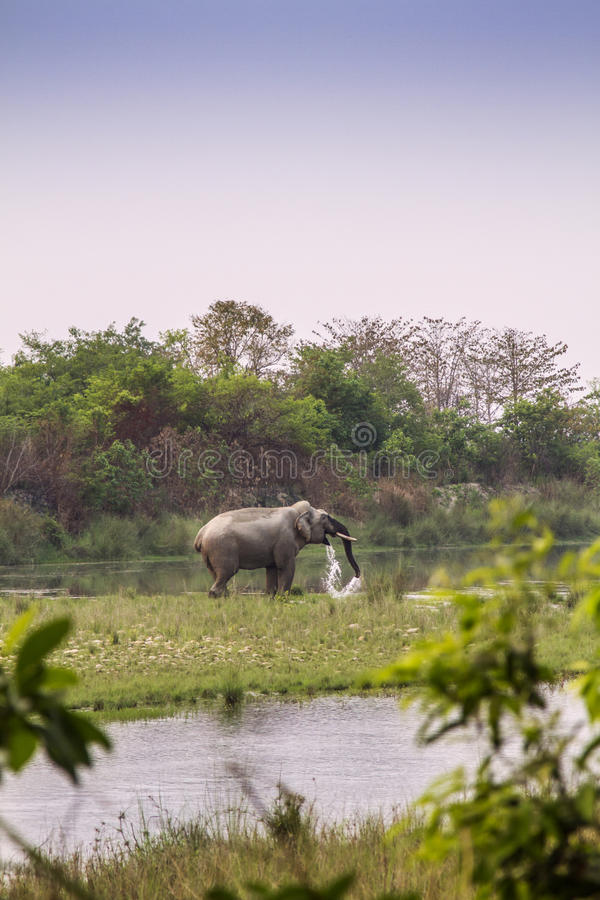 Asian elephant in the riverbank in Bardia National Park, Nepal. Wild asian elephant in the riverbank in Bardia National Park, Nepal stock images