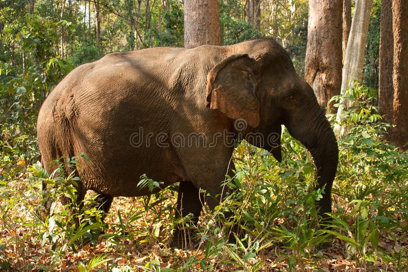 An Asian elephant roaming through the jungle in Cambodia. An old Asian female elephant roaming through the jungle in an elephant sanctuary in Mondulkiri in royalty free stock photos