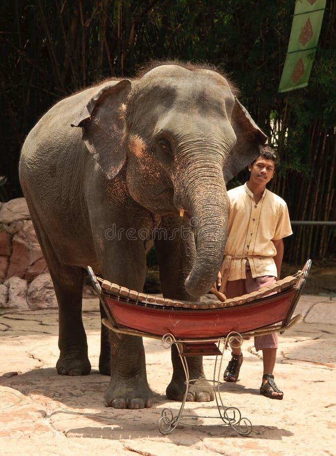 Asian Elephant show stock images