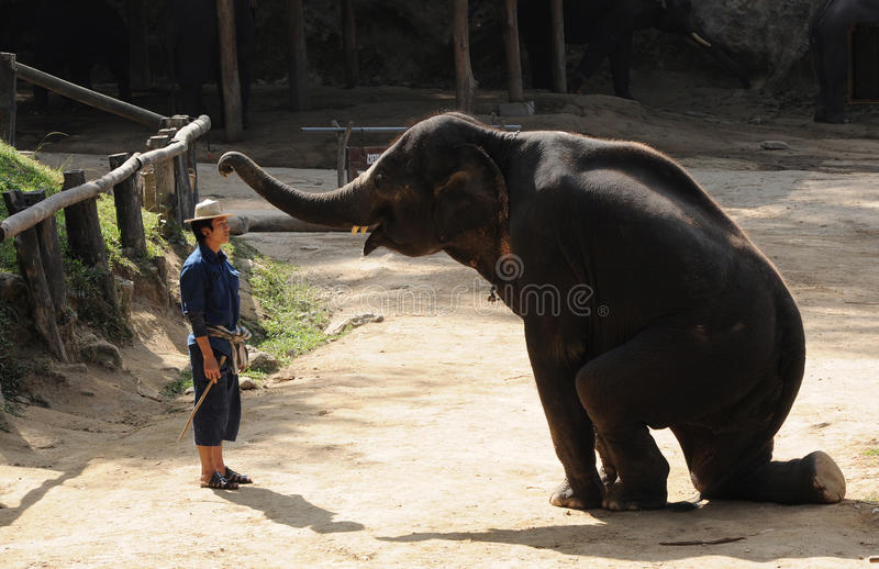 Asian elephant show. A trainer stand in front of elephant during their show in Maesa elephant camp, Mae rim district Chiang mai, Thailand royalty free stock photos