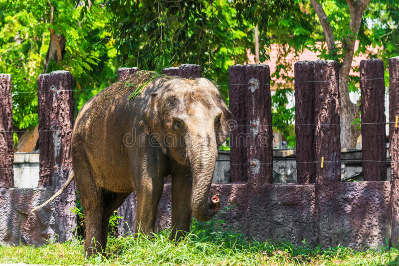 Asian elephant is standing on ground royalty free stock photography